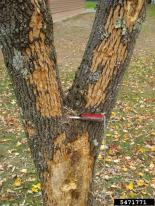 Bark flecking from woodpecker damage