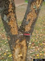 Bark flecking from woodpecker damage