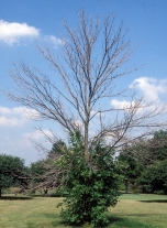 Ash tree die back and epicormic branching